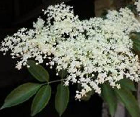 eldeflower blossom
