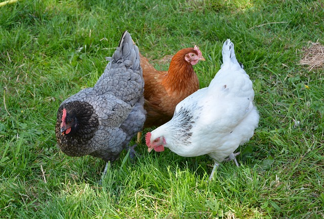 hens for flea and tick control